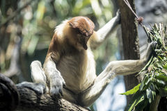 Monkey with legs open wide Stock Photos
