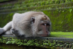 Monkey lie on the stone Stock Images