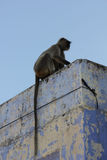 Monkey on a light blue roof in Pushkar Stock Images
