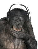 Monkey listening music closed eyes Royalty Free Stock Photo
