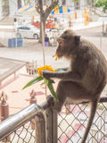 Monkey. The little hungry monkey stole flowers to eat , Thailand Stock Photo