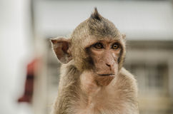 Monkey. Little monkey in lopburi thailand Royalty Free Stock Photo