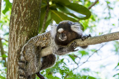 Black-tufted marmoset. Monkey lying on the branch of a tree in Rio de Janeiro forest Royalty Free Stock Images