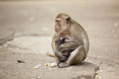 Monkey with little monkey Royalty Free Stock Images