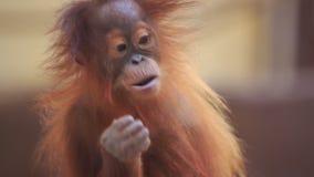 Monkey stock video