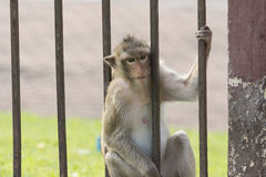 The monkey live in city. With human in Loburi city,Thailand stock photography