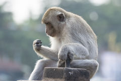 The monkey live in city. With human in Lopburi city,Thailand royalty free stock image