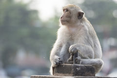The monkey live in city. With human in Lopburi city,Thailand stock photos