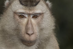 The monkey Royalty Free Stock Image