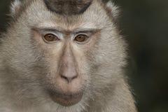 The monkey Royalty Free Stock Image
