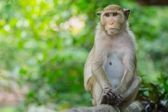 Monkey lives in a natural forest of Thailand. Stock Image