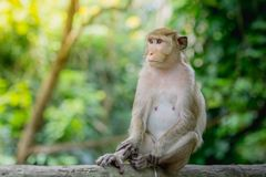 Monkey lives in a natural forest of Thailand. Stock Images