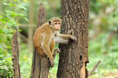 Monkey in the living nature Stock Photography