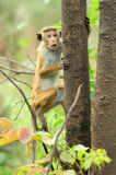 Monkey in the living nature Royalty Free Stock Images