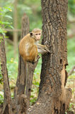 Monkey in the living nature Royalty Free Stock Photos