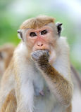 Monkey in the living nature Royalty Free Stock Photo