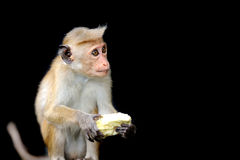 Monkey in the living nature Stock Image