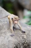Monkey in the living nature Stock Images
