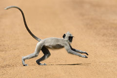 Monkey in the living nature Royalty Free Stock Image