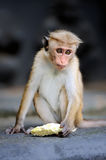 Monkey in the living nature Royalty Free Stock Photography