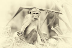 Monkey in the living nature. Vintage effect Stock Photography