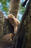 Monkey living on the tree Royalty Free Stock Image