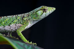 Monkey lizard Stock Images