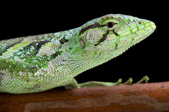 Monkey lizard, Polychrus marmoratus Royalty Free Stock Images