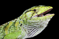 Monkey lizard, polychrus marmoratus. The Monkey lizard, polychrus marmoratus, is a slow moving lizard species found in the Amazon Royalty Free Stock Photo