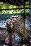 The monkey that is locked in the cage.  royalty free stock photos