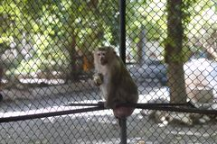 The monkey that is locked in the cage.  royalty free stock images