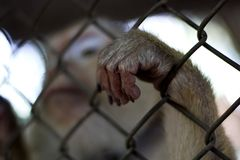 The monkey that is locked in the cage.  stock photo