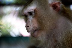 The monkey that is locked in the cage.  stock image