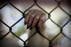 The monkey that is locked in the cage.  stock photos