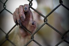 The monkey that is locked in the cage.  royalty free stock photography