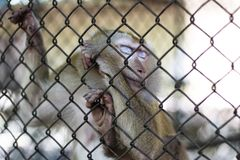 The monkey that is locked in the cage.  royalty free stock image