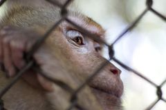 The monkey that is locked in the cage.  stock photography