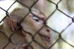 The monkey that is locked in the cage.  stock images