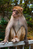 Monkey loking forward Stock Images