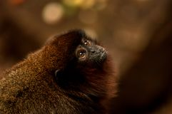 Monkey at London Zoo. Monkey captured looking up at London Zoo Royalty Free Stock Photos