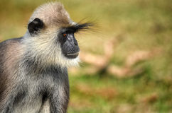 Monkey long eyebrow Stock Image