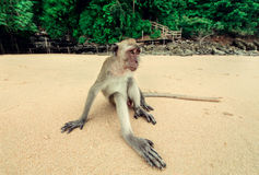 Monkey with long legs. Royalty Free Stock Photos