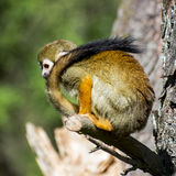 Monkey with a long tail Royalty Free Stock Images