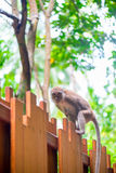 Monkey with a long tail on a wooden fence Royalty Free Stock Image