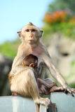 Monkey (Long-Tailed Macaque) Stock Photography