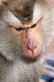 Monkey, Long-tailed macaque. Close-up face Royalty Free Stock Photos