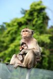 Monkey (Long-Tailed Macaque) with her sweet baby. Royalty Free Stock Photos