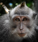 Monkey (Long tailed macaque) portrait Royalty Free Stock Images