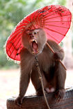 Monkey, Long-tailed macaque. With red umbrella Stock Photo