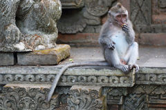 Monkey Long Tailed Macaque Stock Photography